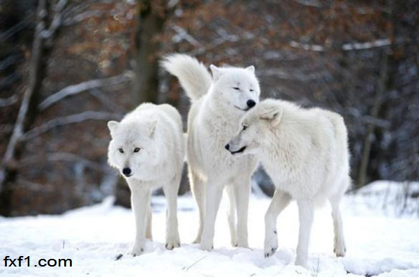 شباهت معامله گر با گرگهای قطب شمال